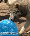 Wolf pup and balloons picture Picture