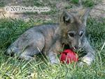 Wolf Pup enrichment picture III Picture