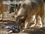 Wolf eating fish picture Picture