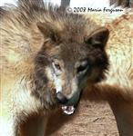 Wolf Pup Nita, bewitched photo Picture
