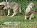 Female Wolf pups at 12 weeks old picture Picture