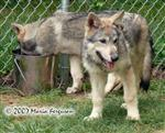 Wolf pups at 12 weeks picture Picture