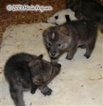 Wolf Pups play picture Picture