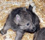 Wolf Pup's ears are up photo Picture