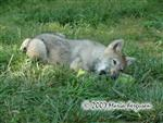 Wolf pup lovin cool treat picture Picture