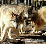 Yearling Wolves celebration picture Picture
