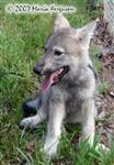 Wolf pup on lead photo Picture