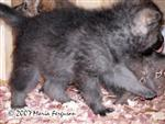Wolf pup marching picture Picture