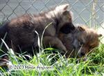 Wolf Pup biting picture Picture