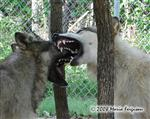 Wolf teeth picture Picture
