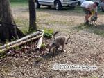 Wolf pups being leashed trained photo Picture
