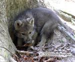 Wolf Pup finds a den picture Picture
