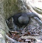 Wolf Pup snuggles in den photo Picture