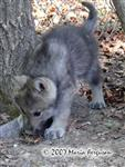 Wolf Pup picks up scent picture Picture