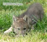 Wolf Pup play bow picture Picture