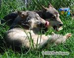 Wolf pictures, Frosty Paws IX Picture