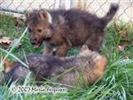 Female Wolf Pup, Nita, Picture Picture