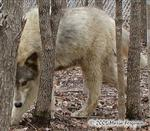 Searching Wolf picture Picture