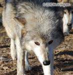 Wolf pictures, close up Picture