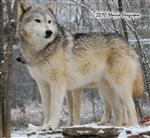 Wolf picture, beauty Picture