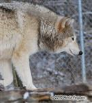 Wolf pictures, fur lined ears Picture