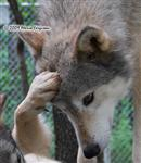 Wolf pictures, pawing Picture