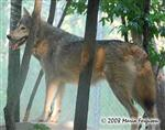 Wolf pictures, The Lookout Picture