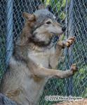 Wolf pictures, standing up Picture