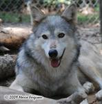 Wolf pictures, summer Picture