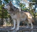 Wolf pictures, on guard Picture