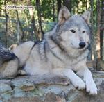 Wolf pictures, pretty Mama Picture