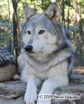 Wolf pictures, posing Picture