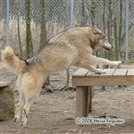 Wolf leaping picture Picture