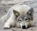 Female Wolf picture Picture