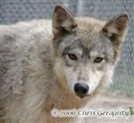 Female Timber Wolf picture Picture