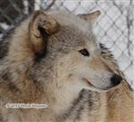 Wolf Pictures, Ohoyo snow day V Picture