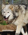 Wolf Pictures, gorgeous face Picture