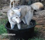 wolf pictures, cooling of her paws I Picture