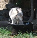wolf pictures, cooling of her paws II Picture