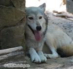wolf pictures, trying to stay cool Picture
