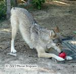Wolves with enrichment ball picture II Picture