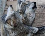 Wolf pictures, a duet Picture