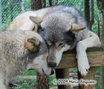 Wolf pictures, nuzzle my muzzle Picture