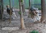 Wolf pictures, the pursuit Picture