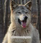 Wolf grin Picture