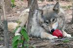 Wolf with Kong picture Picture