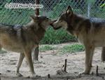 Wolf pictures, Mom and Son Wolves Picture