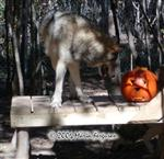 Wolf likes her pumpkin picture Picture