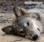Sleepy Wolf picture Picture