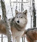 Striking Female Wolf picture Picture